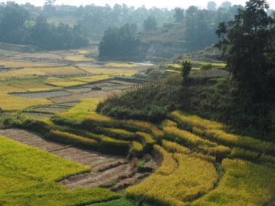 Reisfelder Kathmandu Nepal
