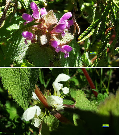 Nahaufnahmen der Blüten und Blätter der Purpurroten Taubnessel und der Weißen Taubnessel im Sonnenschein von K.D. Michaelis