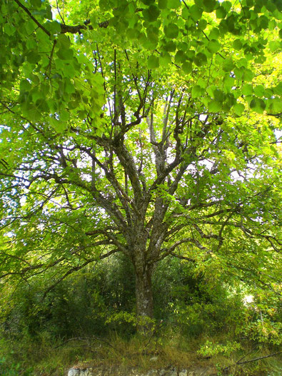 Rolfing: Ein Baum stellt ein Synonym dar,  wie wichtig es ist den Boden unter den Füßen zu erleben und gleichzeitig die Orientierung und den Auftieb nach oben - in den Himmel zu fühlen