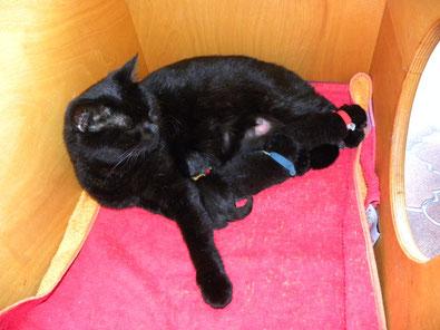 Marie's (offiziell Blacky I) Kitten am 19.8.2014 (am ersten Tag)