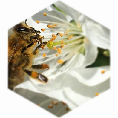 Biene beim Blütenhonig sammeln