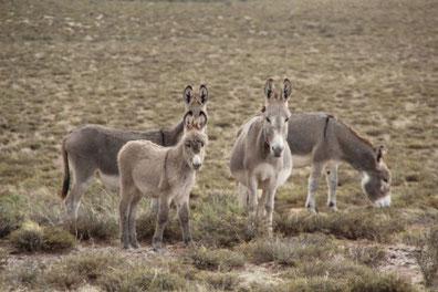 des ânes sauvages dans la pampa