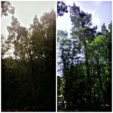 Baumfällung einer Kiefer mit starkem Überhang zur Straße