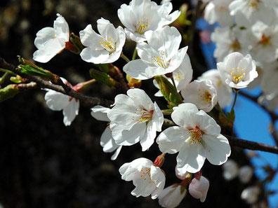 cerisier en fleurs , cherry blossom , sakura
