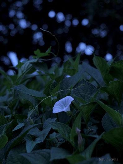 消えかけた夕の光が昼顔を映す