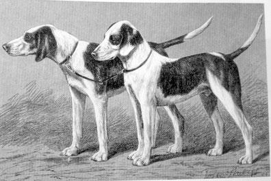 Finnentroper (Westfälische Bracke) Zeichnung von R. Strebel, 1905 (aus Enzyklopädie der Jagdhunde, H. Räber)