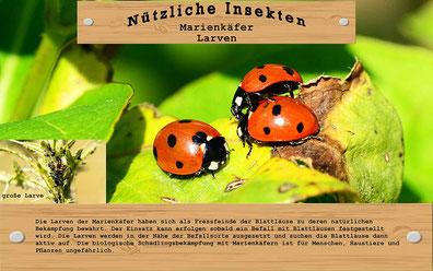 Mittel gegen Blattläuse - Eine weitere Alternative bilden die Larven von Marienkäfern. Die in der Regel als Larven gelieferten Marienkäfer ernähren sich für zirka drei Wochen von den Blattläusen.