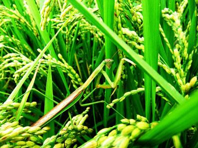 自然栽培の田に棲むカマキリ