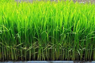 自然栽培の苗