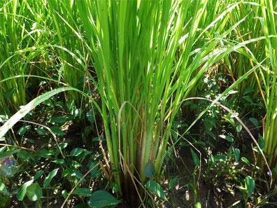 無肥料で育つ自然栽培の稲