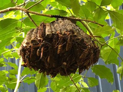 沢山アシナガバチがいる大きな巣