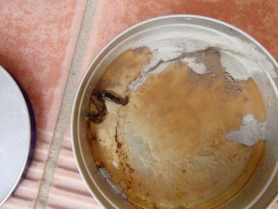木酢酢で死んだニューギニアヤリガタリクウズムシ