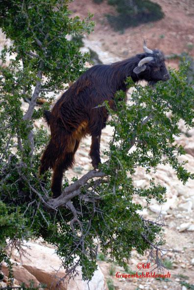 Ziege auf dem Arganienbaum in Marokko.
