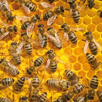 Bienenwachs Bienenwachstuch Bienen