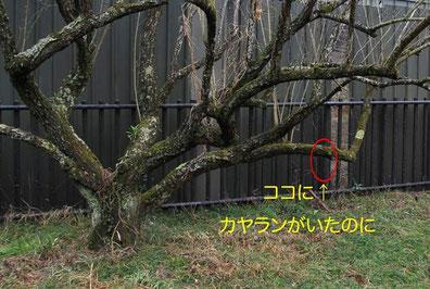 カヤちゃんがついていた梅の木