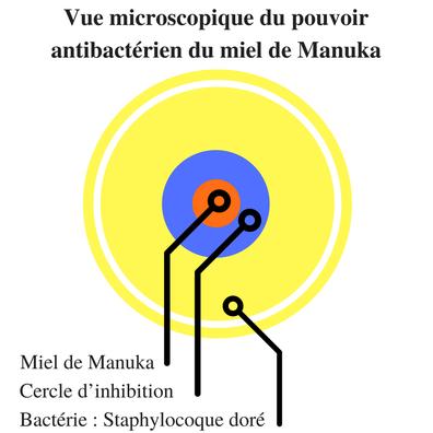 Vue microscopique du pouvoir antibactérien du miel de Manuka