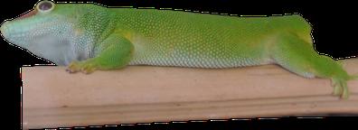 Ein Grosser Madagaskar Taggecko nach einem kompletten Schwanzabwurf