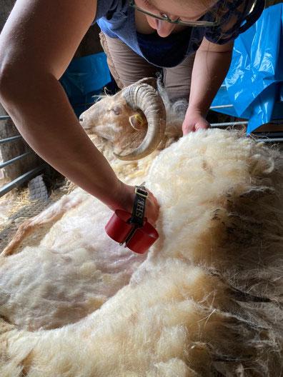 Der Bock einer befreundeten Schäferin wird (mittels Handschere und erlernter Technik) von seiner Wolle befreit