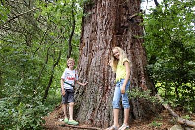 Naturdenkmal Mammutbäume in Fennhals. 100 Jahre alte Bäume, gepflanzt anläßlich des 50jährigen Jubiläums der Kaiserkrönung von Franz Joseph