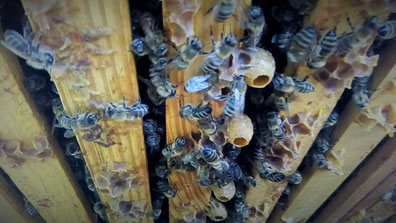 #Bienenvolk #Weiselnapf