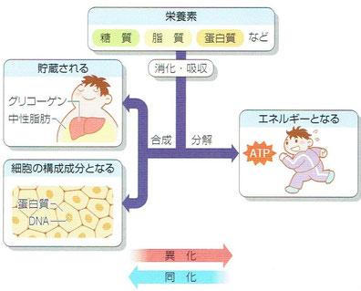 「病気がみえる vol.3 糖尿病・代謝・内分泌」より