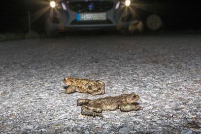 Krötenwanderung (Foto: Andreas Hartl, LBV-Bildarchiv)