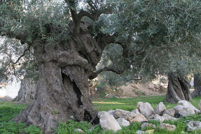 Olivenbäume sind robust und leben viele Jahrhunderte. (Photo: Nael Alqassis)