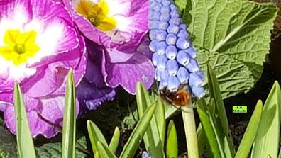 Mauerbienen-Video bei der Futtersuche auf den Frühlingsblumen in meinem Pflanzkasten am Balkon von K.D. Michaelis