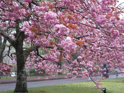 ゆと森倶楽部には何種類もの桜が迎えてくれます