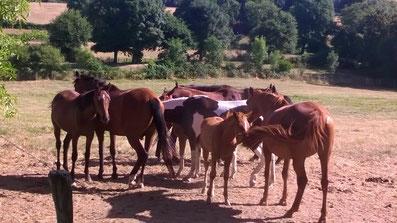 la vie de troupeau des chevaux Baunel 79