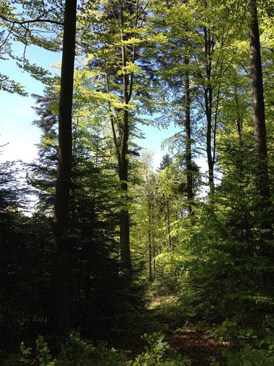 Gut strukturierter naturnaher Mischwald [© Foto: Dr. G. Strobel]