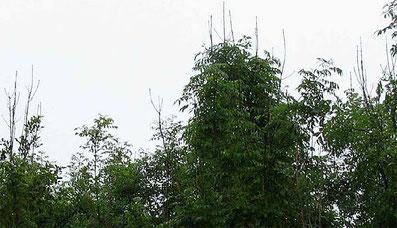 """Als Schaderreger wurde der Pilz Hymensocyphus pseudoalbidus, auch """"Falsches Weißes Stengelbecherchen"""" genannt, mit seiner Nebenfruchtform Chalara fraxinea identifiziert."""