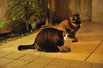 猫 ペットホテル 東京都大田区 チーボー エマ