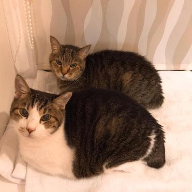 ペットシッター・ペットホテル「メイちゃんのお家」のお客様たち。親子猫のぶーにゃんとミュウです。ぶーにゃんもミュウも18歳超で投薬や皮下点滴などかかせませんが、対応してくださいます。