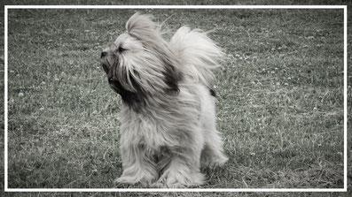 lhasa apso kennel, lhasa apso pups,lhasa apso fokker