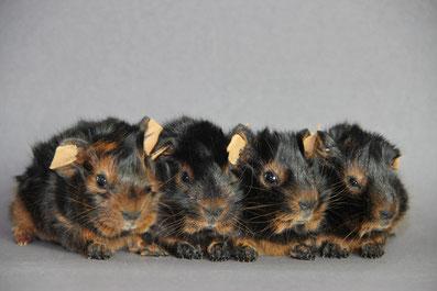 Rosettenbabys in Black Tan d.e.