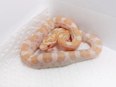 Kornnatter Mandarin