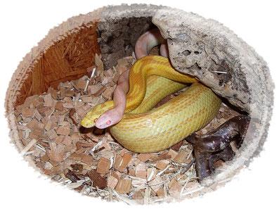 Kornnatter Opal motley und Butter circleback