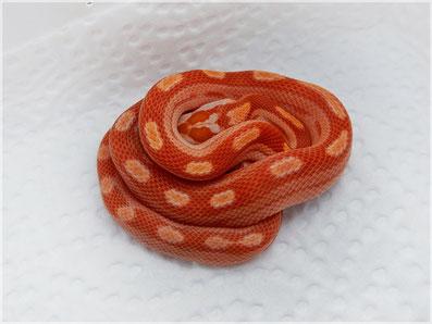 Kornnatter Sunglow motley~striped