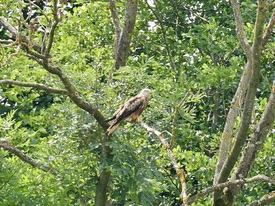 Rotmilan Mecklenburg Vogelbeobachtung
