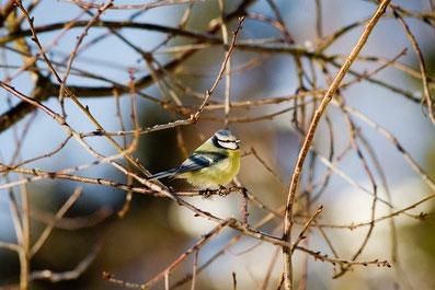 Blaumeise Vogelbeobachtung Mecklenburg
