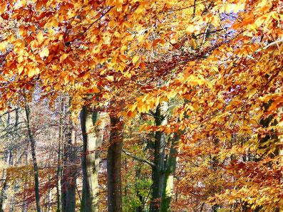 Buche im Herbst, Bäume, Herbstwald
