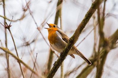 Rotkehlchen Vogelbeobachtung Mecklenburg