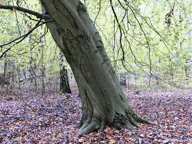 Dicke schräge Bäume