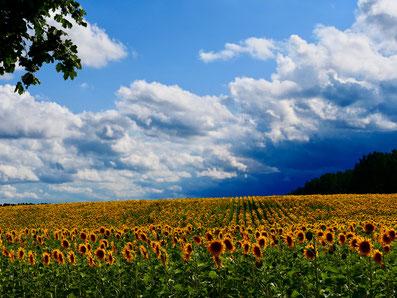Sonnenblumenfeld, Mecklenburg, blauer Himmel, Urlaub