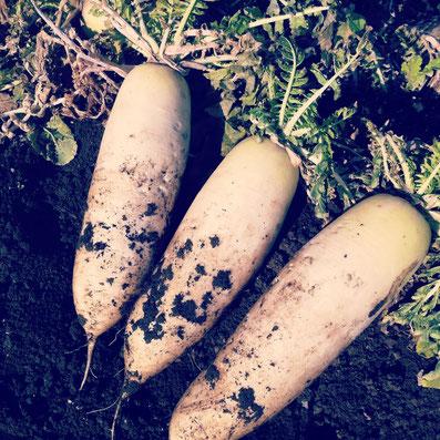 パン工房の隣りの畑から、大根を収穫!寒い冬は、ふろふき大根にして、お味噌つけて食べるのが最高ですよね^^