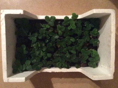 Kiste mit jungen Erdbeerpflanzen