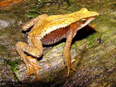 Atelopus nahumae (UICN: EN)
