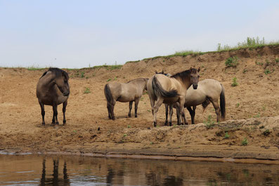 Vier Pferde auf einer Sandbank