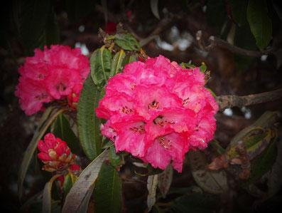Rhododendron; Foto: © Klaus Hessenauer